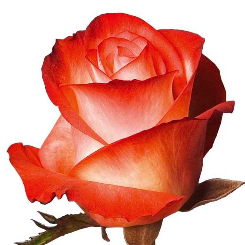 Роза двоколірна гібридна Farfalla (Фарфалла)