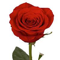 Шикарная роза для букета Forever Young (Форевер Янг), фото 1