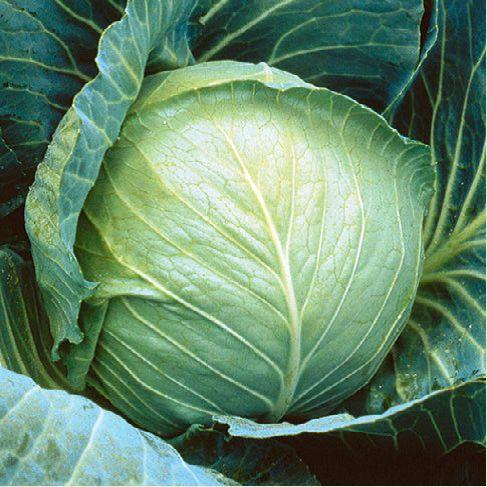Семена капусты б/к Грегориан F1 (2500 сем.)