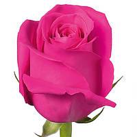 Розовая красивая роза бутон Pink Floyd (Пинк Флойд), фото 1
