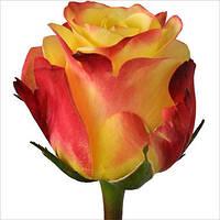 Оригинальная роза для букета Tutti Frutti (Тутти Фрутти), фото 1