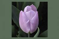Тюльпан нежно сиреневый Candy Prince (Кенди Принц)