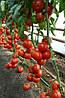 Семена томата Зульфия F1 (Zulfia), 100 сем., Rijk Zwaan