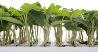 Подвой Кобальт Cucurbitaceae F1 (Kobalt  RZ), 1000 семян