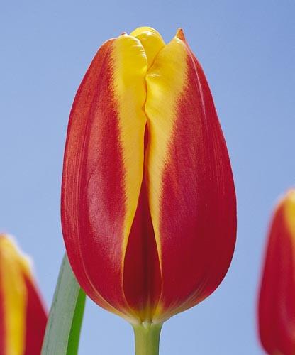 Гарний двоколірний тюльпан Dow Jones (Доу Джонс)