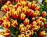Гарний двоколірний тюльпан Dow Jones (Доу Джонс), фото 2