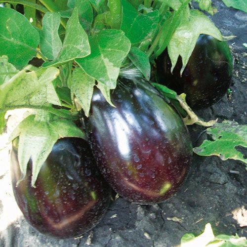 Семена баклажан Чемодан F1 (1000 сем.) Lark Seeds