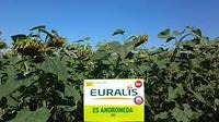 Семена подсолнечника Евралис Андромеда