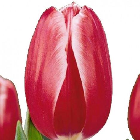 Яскравий тюльпан зрізаний Kung Fu (Кунг-Фу)