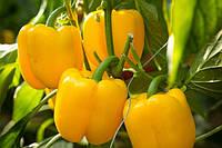 Проф семена желтого болгарского перца Турбин F1 жароустойчивый, профупаковка крупная фасовка Bejo 500 семян, фото 1
