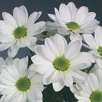 Хризантема ромашковидная белая Bacardi (Бакарди)