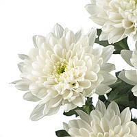 Хризантема кустовая белая (Балтика)