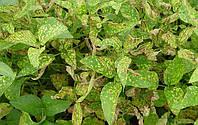 Вплив строків сівби, обробки насіння на синдром раптової смерті сої.