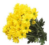 Яркая ромашковая хризантема Celebrate (Селебрейт)