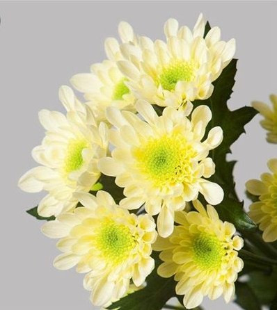 Кремова хризантема ромашковидная Radost Cream (Радість кремова)