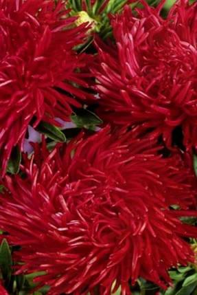 Астра Рубін - 0.2 г - Насіння квітів, фото 2