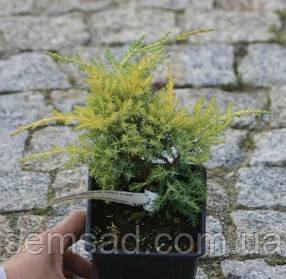 Можжевельник средний Голд Киссен \ Juniperus media Goldkissen ( р9 10-15см) саженцы