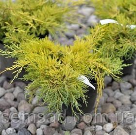 Можжевельник средний Голд Киссен \ Juniperus media Goldkissen ( С1.5л ) саженцы