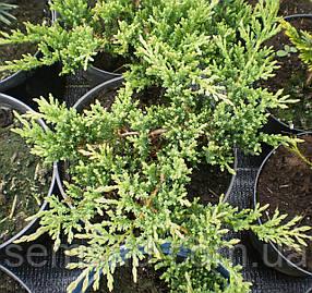 Можжевельник  горизонтальный Принц Оф Уэльс \ Juniperus Prince of Wales (С 1.5) саженцы