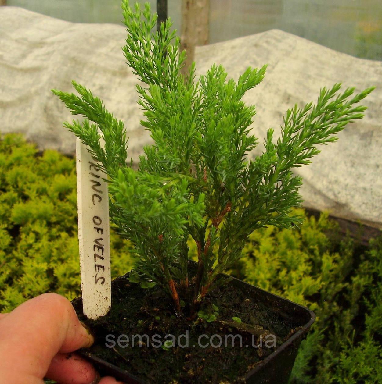 Можжевельник  горизонтальный Принц Оф Уэльс \ Juniperus Prince of Wales (р9) саженцы