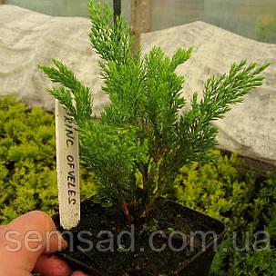 Можжевельник  горизонтальный Принц Оф Уэльс \ Juniperus Prince of Wales (р9) саженцы, фото 2