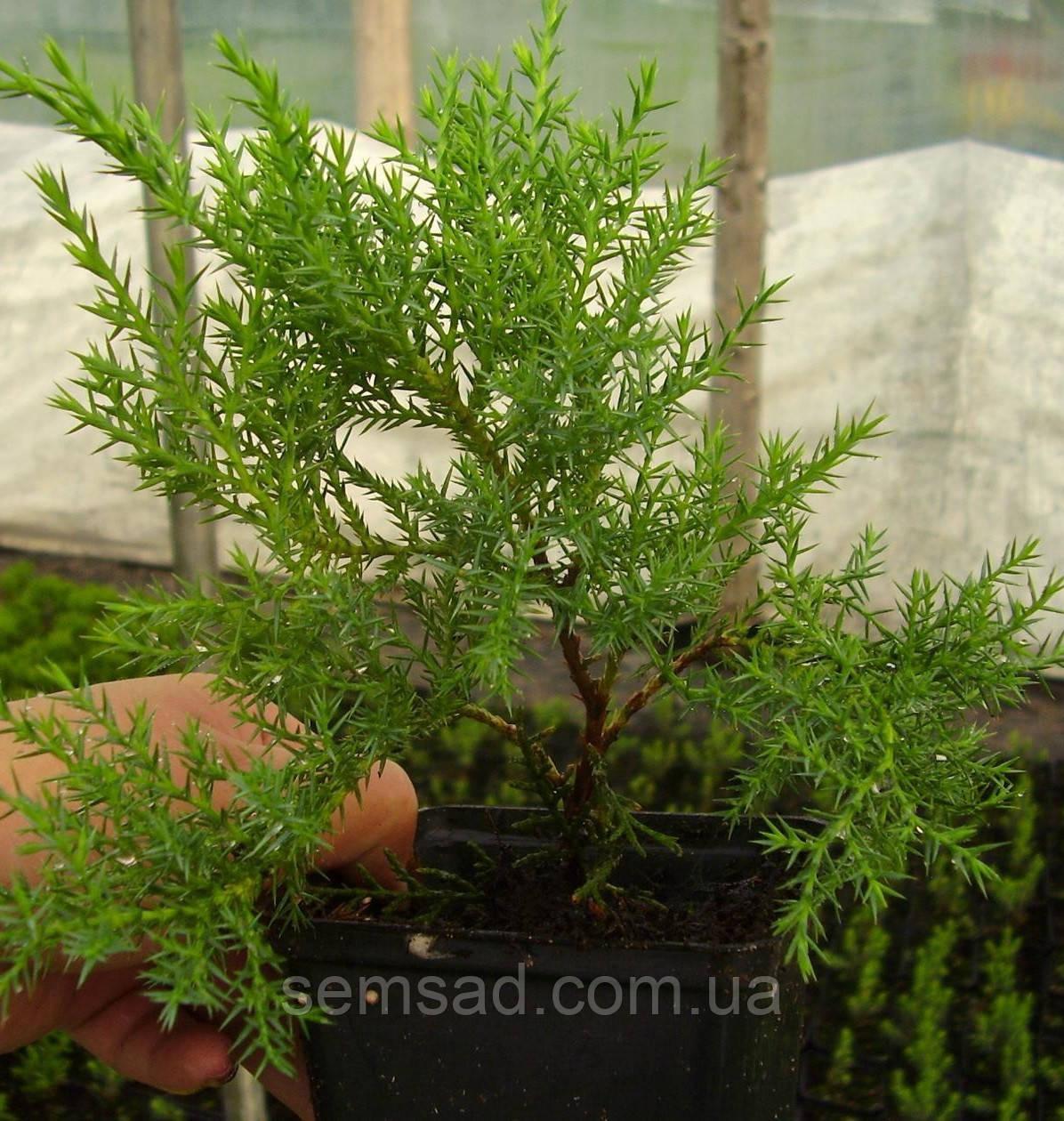 Можжевельник средний Минт Джулеп \ Juniperus chinensis 'Mint Julep' (Р9 ) саженцы