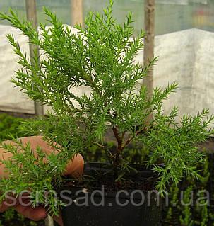 Можжевельник средний Минт Джулеп \ Juniperus chinensis 'Mint Julep' (Р9 ) саженцы, фото 2