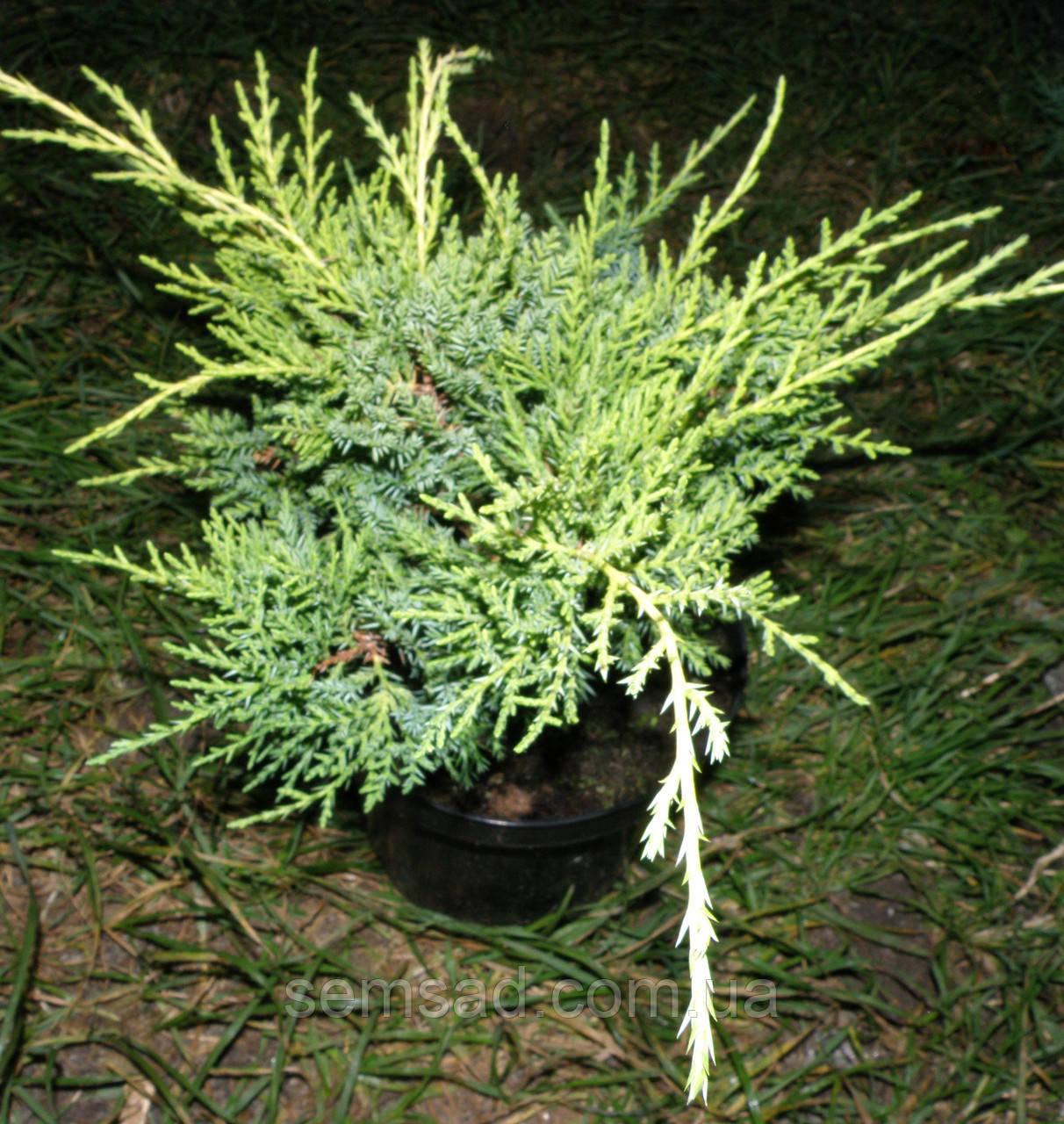 Можжевельник средний Минт Джулеп \ Juniperus chinensis 'Mint Julep' ( С 1.5) саженцы