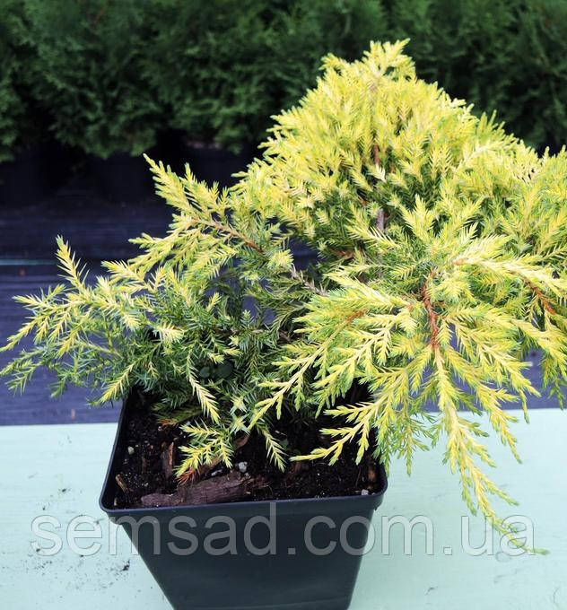 Можжевельник средний Олд Голд \ Old Gold Juniperus media ( Р9) саженцы