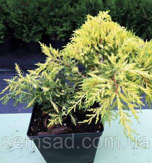 Можжевельник средний Олд Голд \ Old Gold Juniperus media ( Р9) саженцы, фото 2