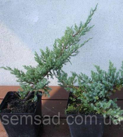 Можжевельник чешуйчатый Блю Карпет \ Juniperus squamata Blue Carpet ( р9) саженцы