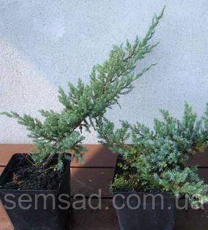 Можжевельник чешуйчатый Блю Карпет \ Juniperus squamata Blue Carpet ( р9) саженцы, фото 2