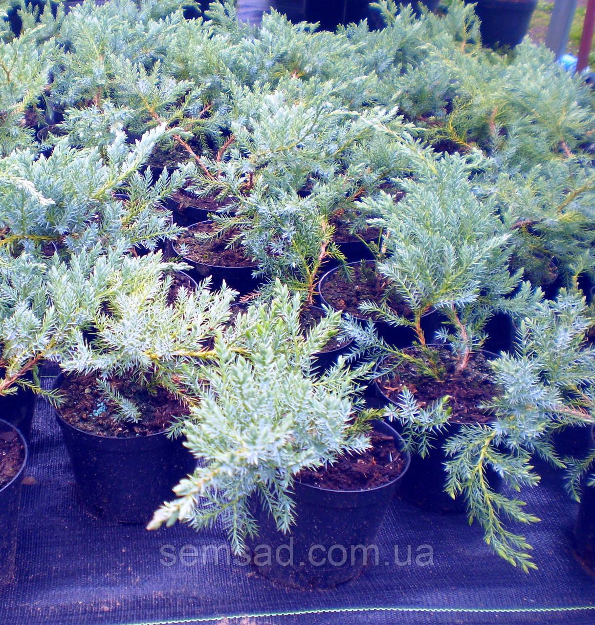 Можжевельник чешуйчатый Блю Карпет \  Juniperus squamata Blue Carpet ( С1.5л) саженцы