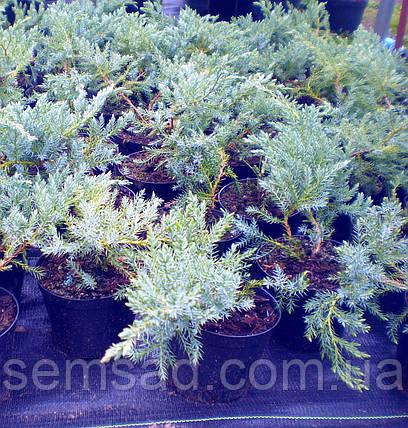 Можжевельник чешуйчатый Блю Карпет \  Juniperus squamata Blue Carpet ( С1.5л) саженцы, фото 2