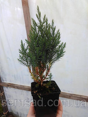 Можжевельник китайский Стрикта \ Juniperus chinensis 'Stricta' ( р9 ) саженцы, фото 2