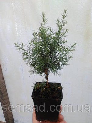 """Можжевельник китайский Обелиск \ Juniperus chinensis """"Obelisk"""" ( р9 ) саженцы, фото 2"""