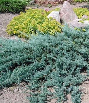 Можжевельник горизонтальный Бар Харбор \ Juniperus horizontalis Bar Harbor (С1.5л ) саженцы, фото 2