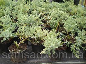 Можжевельник горизонтальный Бар Харбор \ Juniperus horizontalis Bar Harbor (р9 ) саженцы, фото 2