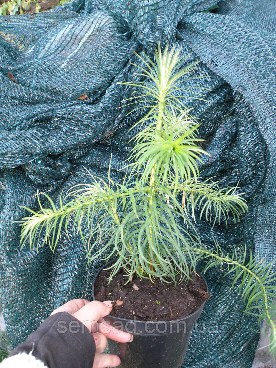 "Ель ""Куннингамия ланцетовидная"" \Cunninghamia lanceolata  ( саженцы р9 л)"