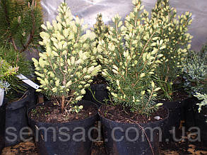 Ель канадская Ренбоуз Энн \Picea glauca 'Rainbow's End' ( С1.5л.) саженцы, фото 2