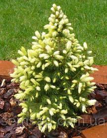 Ель коника Вайт Дейзи \ Picea glauca Daisy White ( С1.5л) саженцы