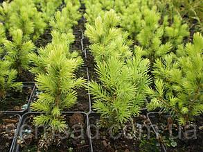 Ель коника Вайт Дейзи \ Picea glauca Daisy White ( р9) саженцы, фото 2