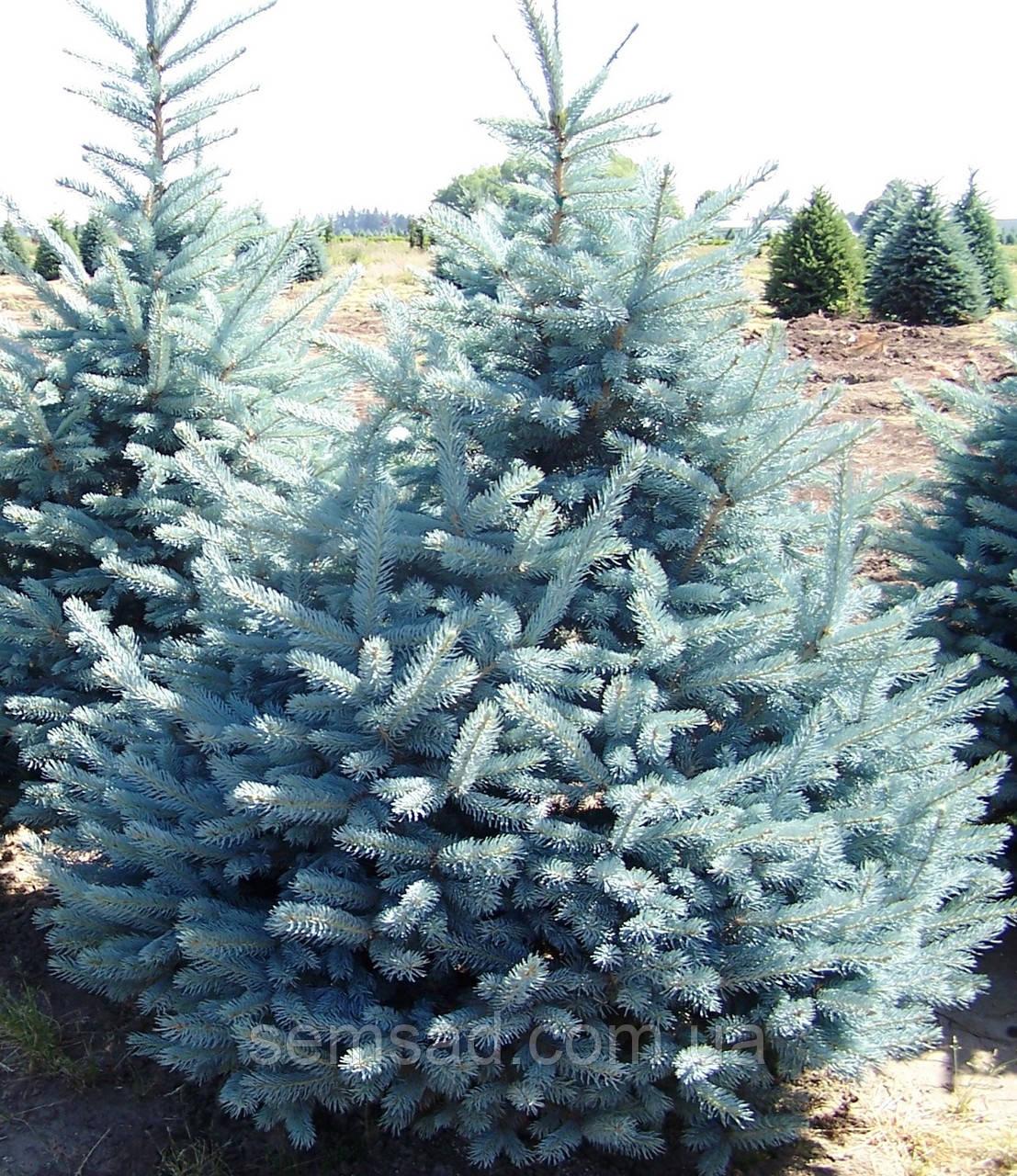 Ель колючая голубая Колорадо Блю Спрайс \Colorado Blue Spruce Picea pungens glauca ( С10л) саженцы 100см