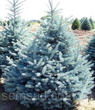 Ель колючая голубая Колорадо Блю Спрайс \Colorado Blue Spruce Picea pungens glauca ( С10л) саженцы 100см, фото 2