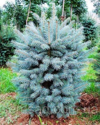 "Ель голубая ""Супер Блю Сидлинг"" \ Picea pungens 'Super Blue Seedling' ( саженцы С7л 50-60см), фото 2"