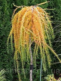 Лиственница плакучая Стиф Випер \ Larix kaempferi Stiff Weeper рendula ( штамб 100-120см) саженцы