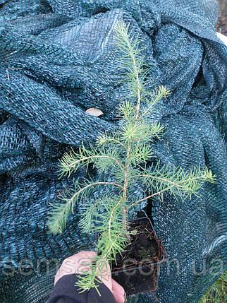 Лиственница японской \ Larix kaempferi ( 2 года) саженцы, фото 2