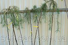 Лиственница японская плакучая Стиф Випер \ Larix kaempferi Stiff Weeper рendula  штамб 150см саженцы, фото 2
