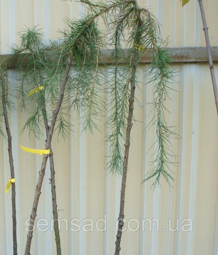 Лиственница японская плакучая Стиф Випер \ Larix kaempferi Stiff Weeper рendula  штамб 150см саженцы