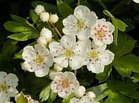 Боярышник лекарственный цветы